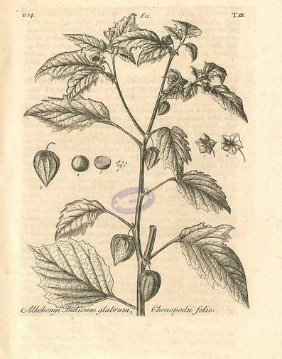 Physallys peruviana